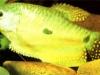Trichogaster-trichopterus