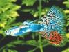 lebistes-reticulatus