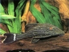 panaque-_nigrqlineatus