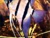 pterophyllum-eimekei