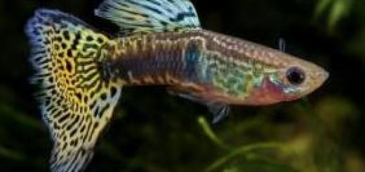 чудо рыбка гуппи