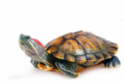 Содержание и разведение красноухой черепахи.