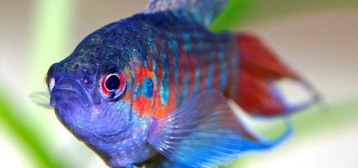 Рыбки макропод