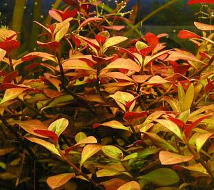 аквариумные растения. ЛЮДВИГИЯ (ползучая)