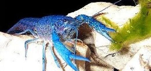 Содержание и разведение рака голубого.