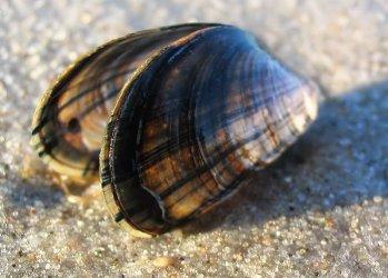 Мидия - морской моллюск