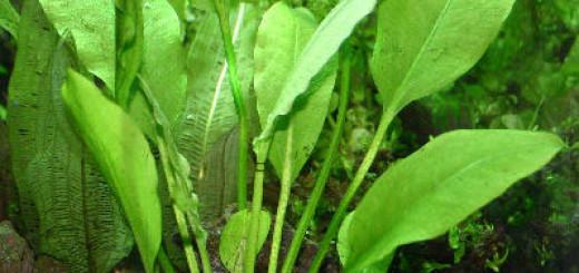 Эхинодорус амазонский (Echinodorus amazonicus или brevipedicellatus)