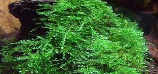 Christmas Moss, Vesicularia montagnei