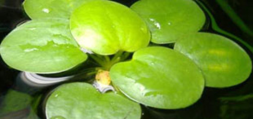 Limnobium stoloniferum или Salvinia laevigata