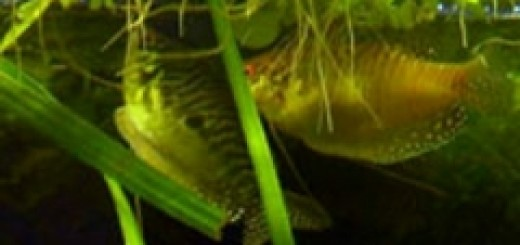 Размножение мраморного гурами