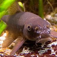 Рыба garra rufa