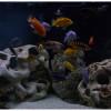 Цихлиды vs аквариумные растения
