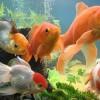 Лучший фильтр для аквариумов с золотыми рыбками